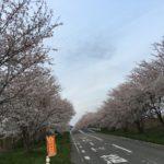 河北潟の桜!!