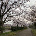下条川の桜!